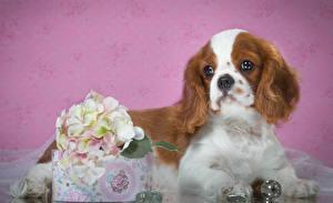 Hintergrundbilder Hunde Spaniel Welpe King Charles Spaniel Tiere