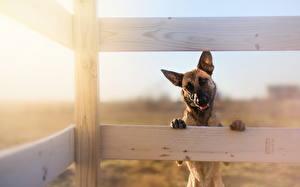 Fotos Hunde Shepherd Zaun