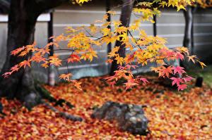 Bilder Herbst Japan Blattwerk Ast Ahorne Natur