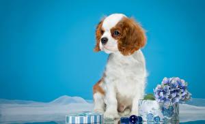 Fotos Hunde Spaniel Welpen King Charles Spaniel