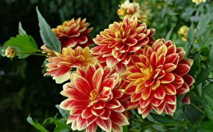 Fotos Dahlien Großansicht Knospe Blüte