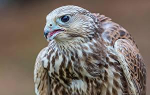 Fotos Vögel Falken Nahaufnahme ein Tier