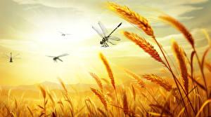 Bilder Acker Libellen Weizen Ähre