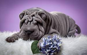 Desktop hintergrundbilder Hunde Shar-Pei Graue ein Tier