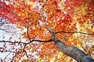 Bilder Herbst Ast Bäume Baumstamm Untersicht Ansicht von unten Natur