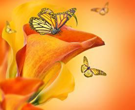 Hintergrundbilder Schmetterlinge Großansicht Monarchfalter Blumen