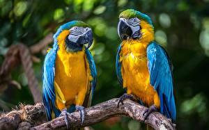 Hintergrundbilder Papagei Eigentliche Aras Zwei