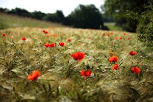 Bilder Acker Mohn Ähre Blumen
