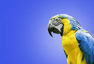 Hintergrundbilder Papagei Eigentliche Aras