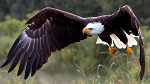 Wallpapers Bird Hawk Bald Eagle