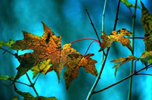 Fotos Großansicht Herbst Blatt Ahorne Natur
