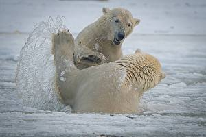 Pictures Bears Polar bears White Two Fight Water splash Animals