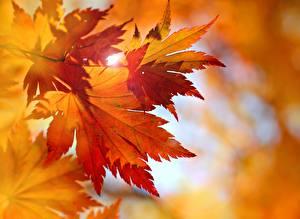 Hintergrundbilder Hautnah Herbst Blattwerk Orange Natur