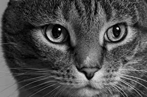 Photo Cats Eyes Glance Whiskers Snout Nose animal