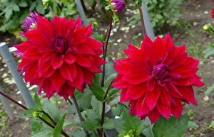 Bilder Georginen Nahaufnahme Bordeauxrot Zwei Blumen