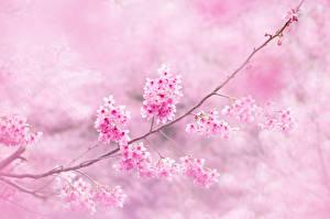 Fotos Blühende Bäume Ast Japanische Kirschblüte Blumen