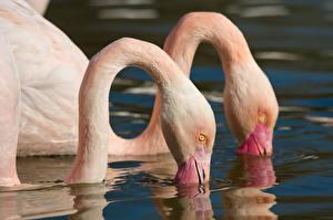 Fotos Flamingos Wasser Zwei