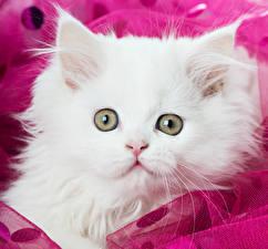 Images Cat Eyes Kitty cat White Animals