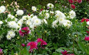 Hintergrundbilder Georginen Nahaufnahme Blütenknospe Blumen