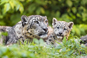 Wallpaper Snow leopards Cubs 2 animal
