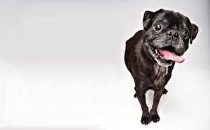 Fotos Hunde Schwarz Mops (Hunderasse) Tiere