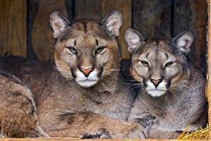 Images Puma 2 Staring animal