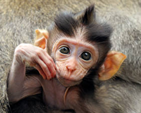 Photo Monkeys Cubs Eyes Snout animal