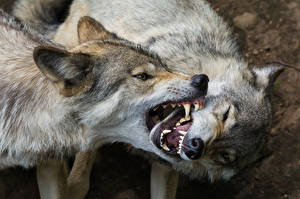 Wallpapers Wolves Two Angry Animals