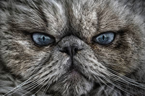 Photo Cats Eyes Snout Glance Whiskers Nose animal