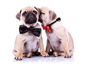Wallpaper Dogs Bulldog Two Bowknot Bow tie animal