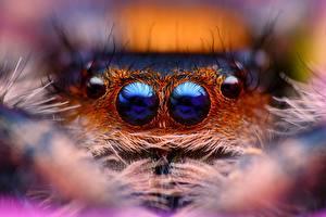 Desktop wallpapers Eyes Spiders Closeup Jumping spider Animals