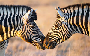 Image Zebra Two Head Animals