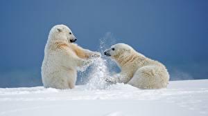 Wallpapers Bears Polar bears 2 Snow Animals