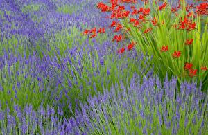 Fotos Felder Lavendel Blüte