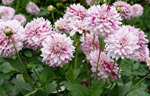 Bilder Georginen Hautnah Rosa Farbe Blumen