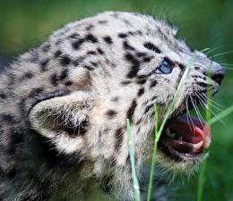 Hintergrundbilder Große Katze Jungtiere Irbis Schnauze Tiere