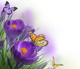Fotos Krokusse Schmetterlinge Monarchfalter Violett Blumen