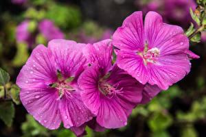 Fotos Malven Hautnah Violett Blumen