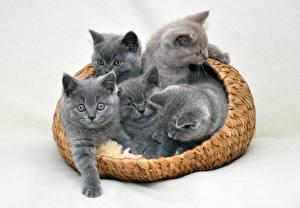 Hintergrundbilder Katzen Katzenjunges Weidenkorb Grau Tiere