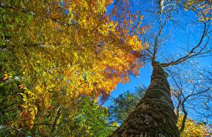 Bilder Herbst Baumstamm Bäume Ast Blattwerk Untersicht Ansicht von unten Natur