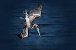 Hintergrundbilder Vögel Pelikane Flug
