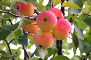 Fotos Obst Äpfel Ast Lebensmittel