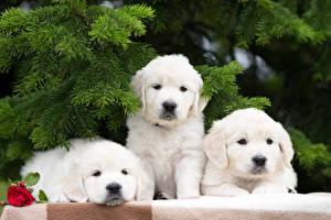 Hintergrundbilder Hunde Retriever Drei 3 Weiß Ast Tiere