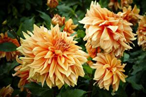 Bilder Dahlien Hautnah Blüte