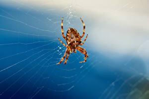 Bakgrunnsbilder Edderkopper Edderkoppsilke Dyr