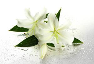 Fotos Lilien Weiß Tropfen Blüte