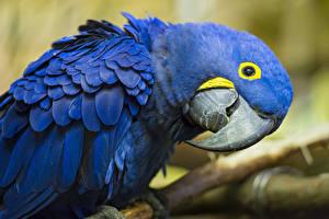 Bilder Vogel Papageien Eigentliche Aras Blau Schnabel