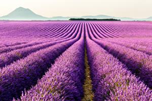 Fotos Acker Lavendel Violett Natur