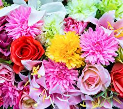 Bilder Rosen Dahlien Lilien Großansicht Blüte