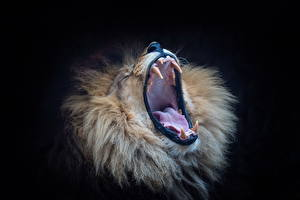 Photo Lions Canine tooth fangs Roar Animals